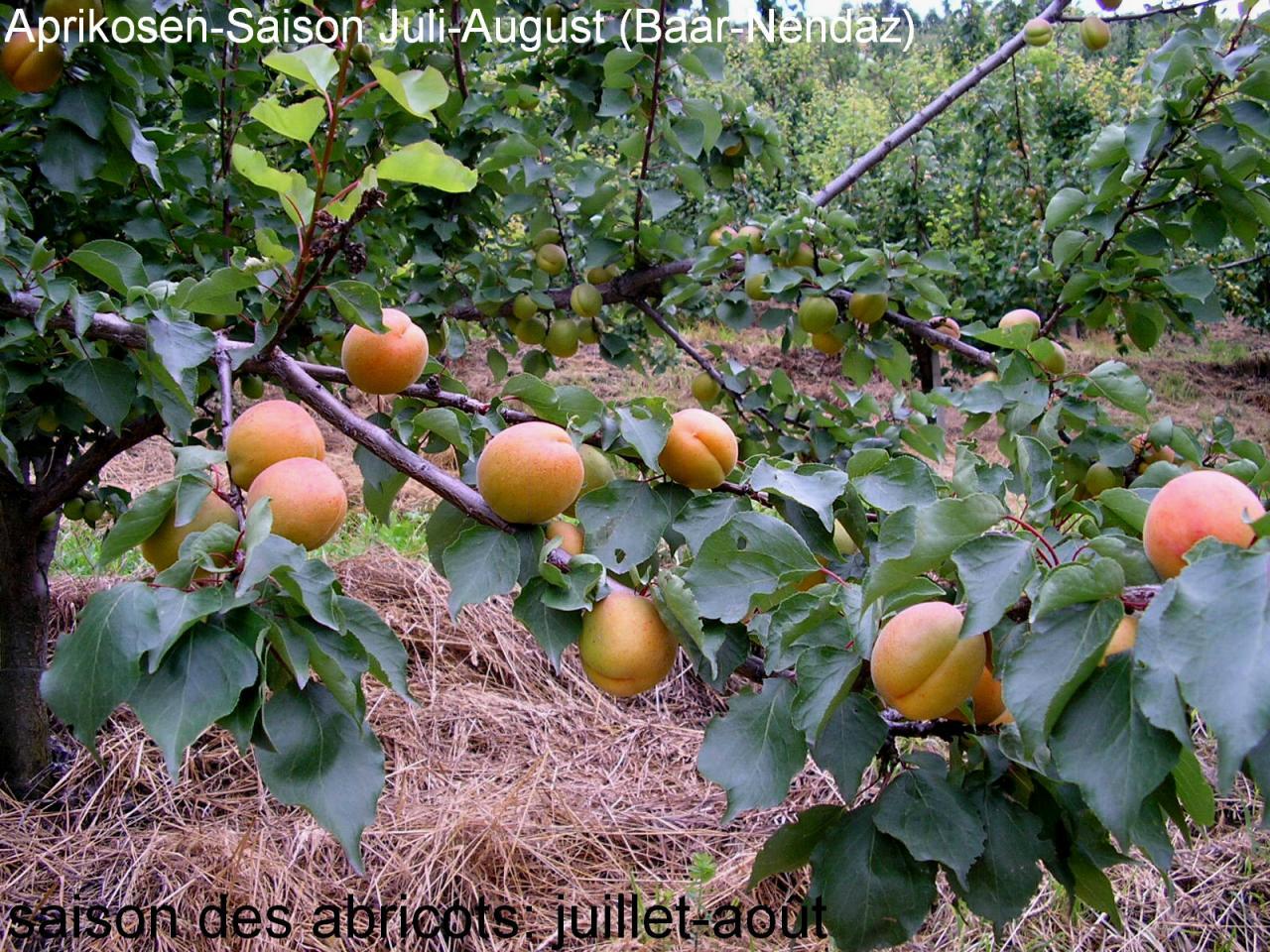 Abricots / Aprikosen