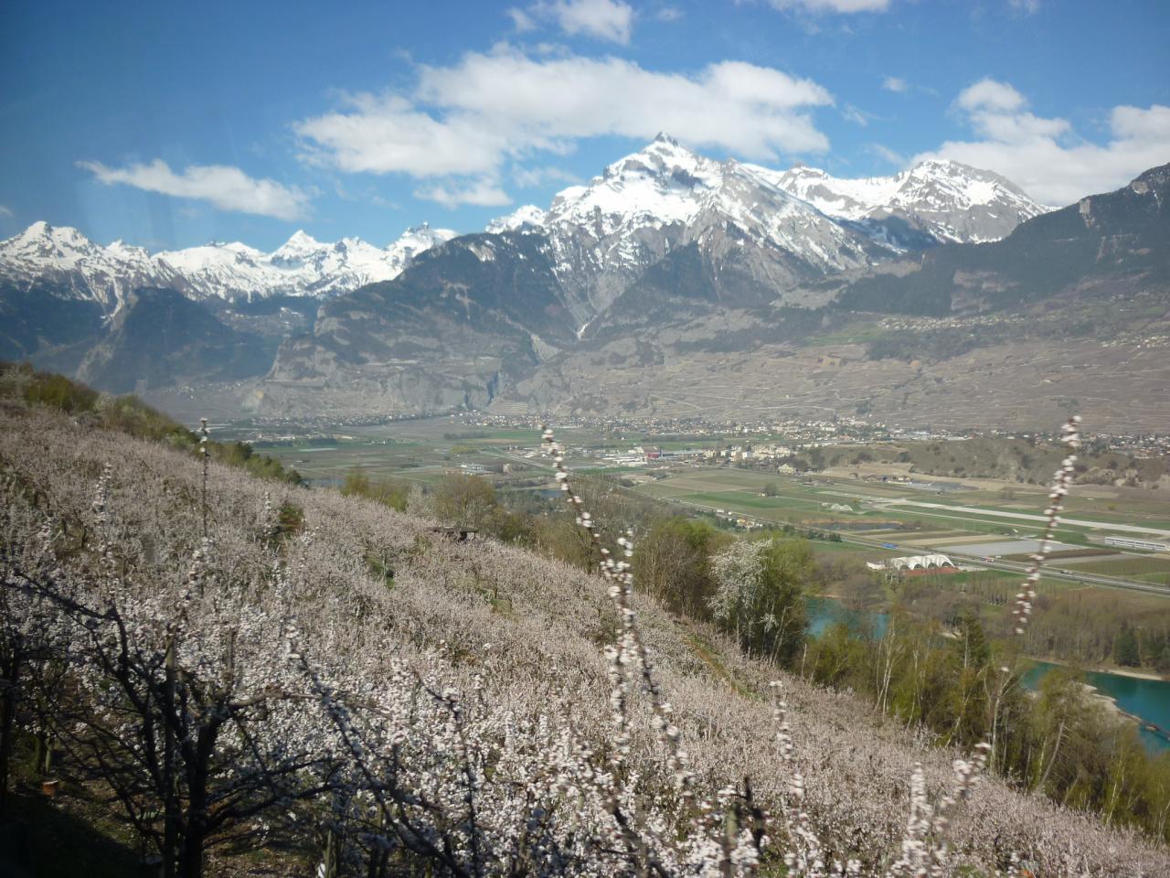 Aprikosenblüte zwischen Nendaz und Sion